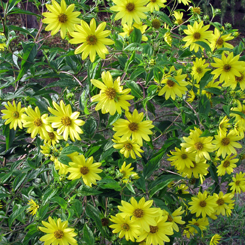 Helianthus Lemon Queen